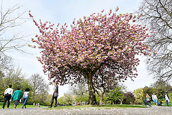 © Licensed to London News Pictures. 18/04/2019. LONDON, UK.  People pass by a cherry tree which is in full blossom in Regent's Park.  The forecast is for increasingly warmer weather for the Easter weekend.  Photo credit: Stephen Chung/LNP