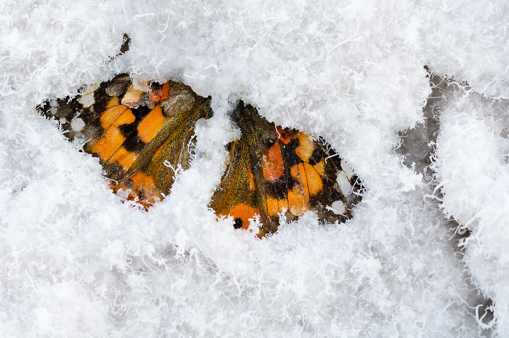 Monarch butterfly (Danaus plexippus) entombed in salt, overcast light, April, Badwater Basin, lowest elevation in the United States (−282 ft), Death Valley National Park, CA, USA