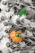 Domestic garden design, flowers flattened by a wind storm, autumn, November, private residence, Tacoma, Washington, USA