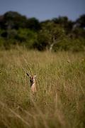 Aquidauana_MS, Brasil...Veado femea da fazenda Rio Negro no Pantanal...The female deer in the Rio Negro farm in Pantanal...Foto: JOAO MARCOS ROSA / NITRO