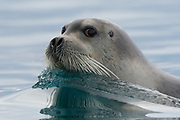 A bearded seal, Erignathus barbatus, swimming in the arctic waters.<br /> <br /> I was in zodiac to make images of a polar bear when suddenly a bearded seal with beautiful whiskers appeared. The seal approached the boat with curiosity and I noticed that every time he raised its head a perfect reflection was created in calm water. I used a really fast shutter speed to freeze the wave created by the seal.