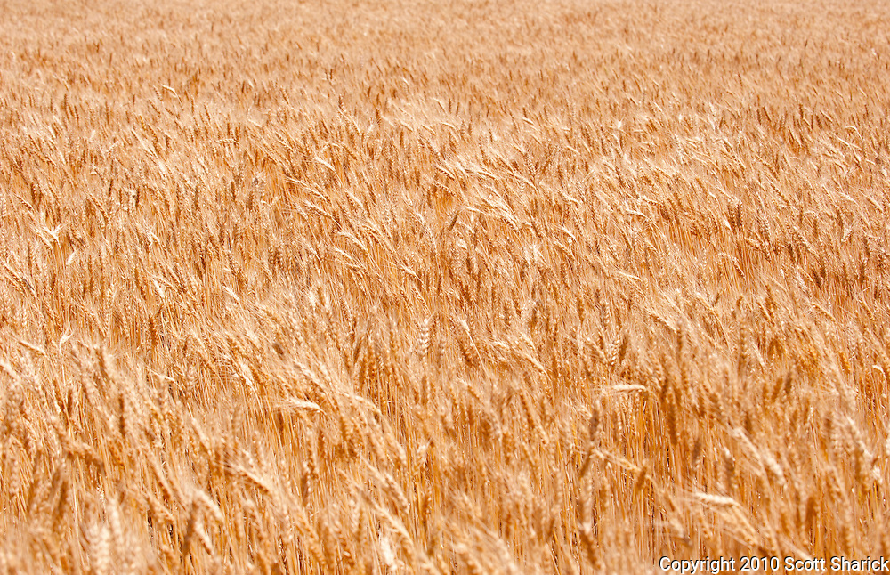 Wheat fills the frame from the fertile farmland of eastern Washington.