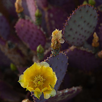 A xeriscape garden grows in Bishop, California.