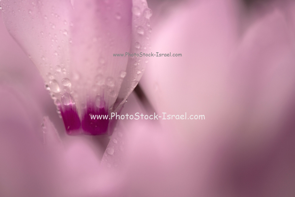 Soft focus image of Persian Violets (Cyclamen persicum), Photographed at the Ein Afek nature reserve, Israel in February