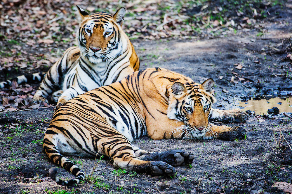 Bengal tigress ( Panthera tigris tigris) with one of her 3 cubs resting in shade early morning, April, dry season