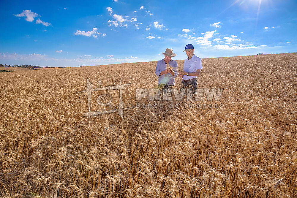 Agricultores examinam a produção na lavoura de trigo. FOTO: Jefferson Bernardes / Agência Preview