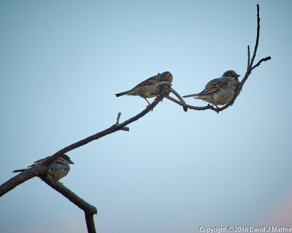 Three House Finch at the Dole Plantation in Ohau, Hawaii. Image taken with a Nikon 1 V3 camera and 70-300 mm lens (ISO 160, 300 mm, f/5.6, 1/100 sec).
