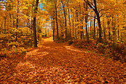 Country road covered in sugar maple leaves (Acer saccharum) in autumn<br />Fairbank Provincial Park<br />Ontario<br />Canada