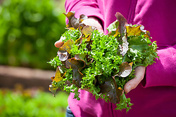 Handful of mixed lettuce salad leaves