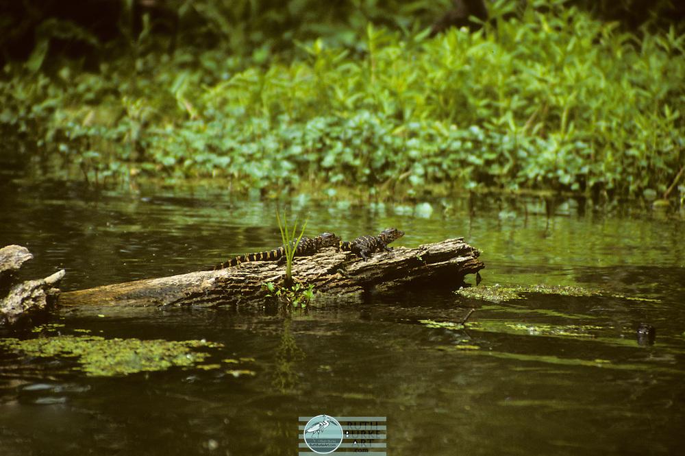 Alligators in the Louisiana Bayou Swamps