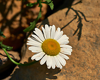 Daisy Flower. Image taken with a Fuji X-H1 camera and 80 mm f/2.8 macro lens