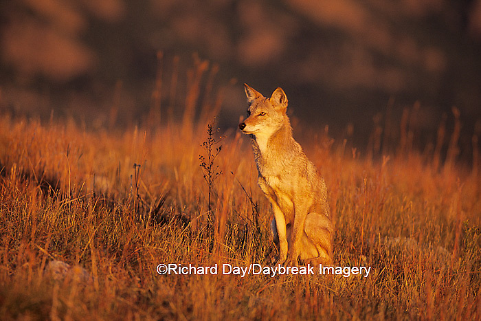 01864-02719 Coyote (Canis latrans) in short grass prairie   CO