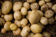 Potatoes. Growing communities is one of London's most important urban farms. They run an organic veg box delivery scheme in Hackney.