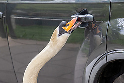 Licensed to London News Pictures. 25/05/2021. London, UK. Shoppers almost get an unexpected passenger when a swan fascinated by its image tries to open car doors in Barnes, southwest London today as the Met Office forecast sunny warmer weather for London and the South East with temperatures predicted to hit 22c at the weekend. Photo credit: Alex Lentati/LNP