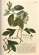 Coloured Copperplate engraving of a Laurus (laurel) tree from hortus nitidissimus by Christoph Jakob Trew (Nuremberg 1750-1792)