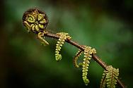 Oceania, New Zealand, Aotearoa, South Island, Fern tree
