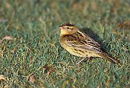 Bobolink - Dolichonyx oryzivorus - female