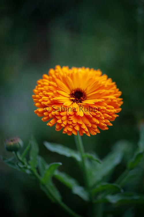 Calendula officinalis -pot marigold