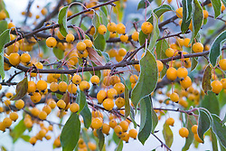 The yellow berries of Malus 'Comtessa de Paris' syn. 'Comptessa de Paris' on a frosty winter's morning. Crab apple