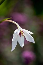 Gladiolus callianthus syn. Acidanthera bicolor var murielae AGM - Abyssinian gladiolus
