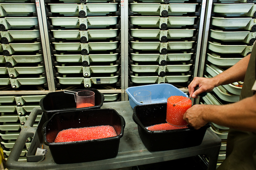 Fresh salmon roe is prepared for incubation at the Feather River Fish Hatchery in Oroville, California on September 26, 2009.