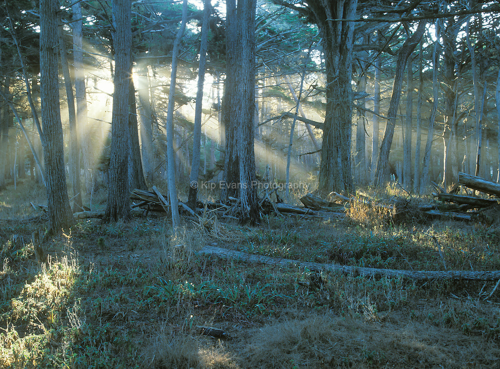 Cypress Grove, which can be seen along 17 Mile drive in Pebble Beach California, is one of the last remaining native cypress stands on the Monterey Peninsula