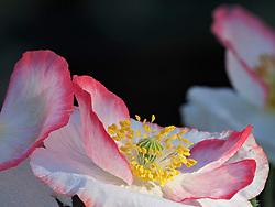 United States, Washington, Duvall, Flower