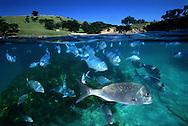 Snapper & blue maomao at Goat Island marine reserve. New Zealand