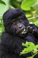 An eating young mountain gorilla (Gorilla beringei beringei) on a shrub, Bwindi Impenetrable National Park, Uganda