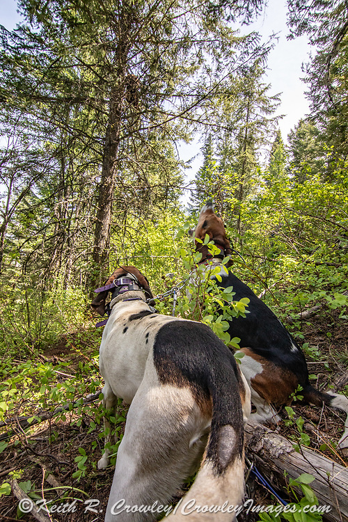 A pair of White Dog's Walker hounds tree a Black bear in Idaho.