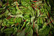 Organic Chard, Riverford Organics farm, Devon, UK food industry