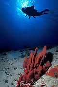 erect rope sponge or red finger sponges, <br /> Amphimedon compressa,<br /> Cozumel, Mexico ( Caribbean Sea )<br /> MR 140-2