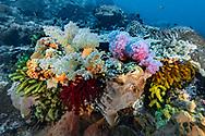 Soft Corals- Alcyonaire (Alcyonacea), Nusa Penida island, Bali, Indonesia.