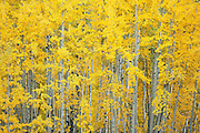 SHOT 9/28/12 6:35:41 PM - Aspen trees changing colors along Kebler Pass just outside of Crested Butte, Co. Populus tremuloides, the Quaking Aspen or Trembling Aspen, is a deciduous tree native to cooler areas of North America and is generally found at 5,000-12,000 feet. The name references the quaking or trembling of the leaves that occurs in even a slight breeze due to the flattened petioles. It propagates itself by both seed and root sprouts, and extensive clonal colonies are common. Each colony is its own clone, and all trees in the clone have identical characteristics and share a root structure. (Photo by Marc Piscotty / © 2012)