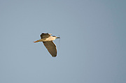 An adult night heron (Nycticorax nycticorax) with nesting material flying high over the River Nile in the early morning. Luxor. Egypt