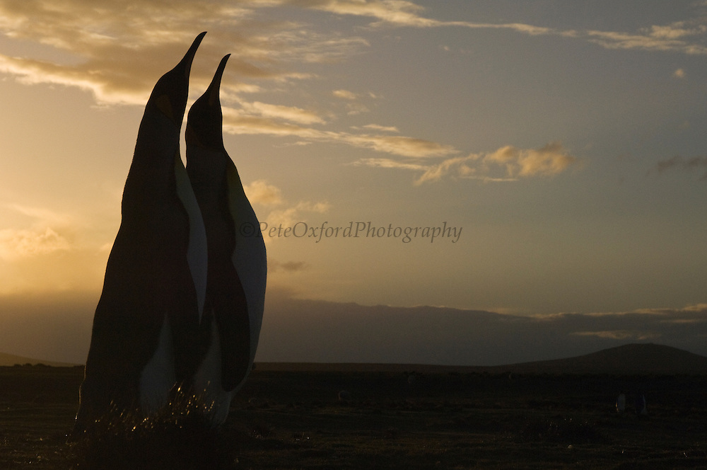 King Penguins (Aptenodytes p. patagonica) silhouette<br /> Volunteer Point, Johnson's Harbour, East Falkland Island. FALKLAND ISLANDS.<br /> RANGE: Circumpolar, breeding on Subantarctic Islands. Extensive colonies found in South Georgia, Marion, Crozet, Kerguelen and Macquarie Islands. The Falklands represent its most northerly range. They are highly gregarious which probably accounts for it common association with colonies of Gentoo Penguins.<br /> King Penguins are the largest and most colourful penguins found in the Falklands. They have a unique breeding cycle. The incubation of one egg lasts for 54-55 days and chick rearing 11-12 months. As the complete cycle takes more than one year a pair will generally only breed twice in three years.