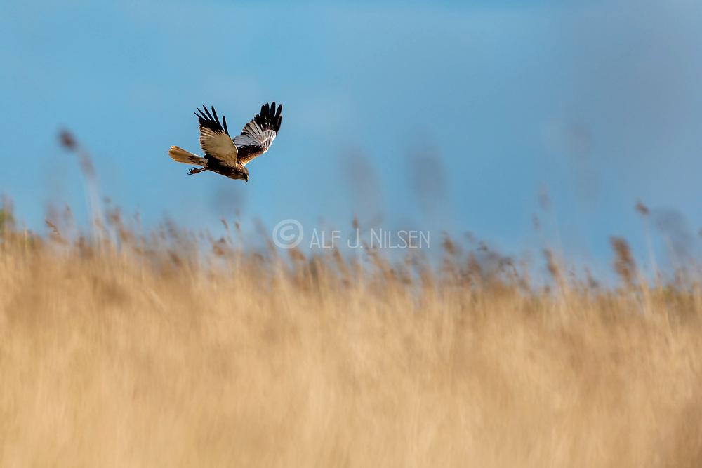 Male western marsh harrier (Circus aeruginosus) from Vejlerne, northern Denmark.