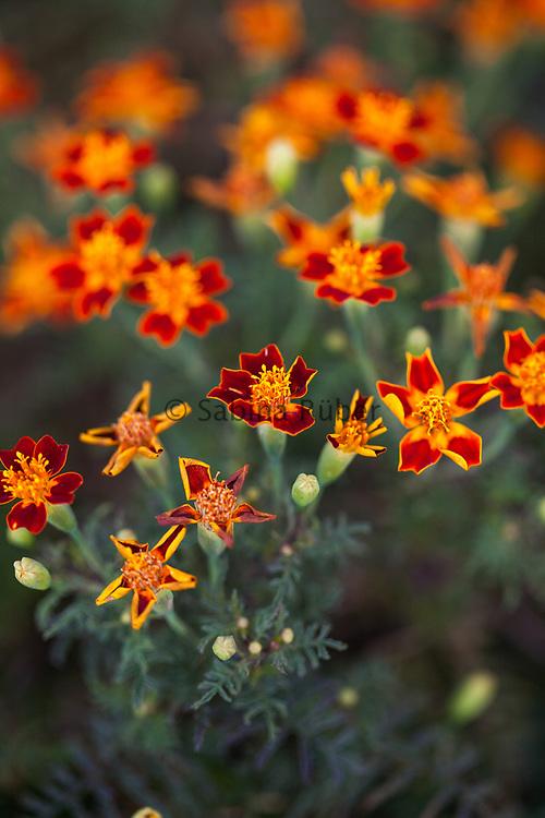 Tagetes 'Paprika' - marigold