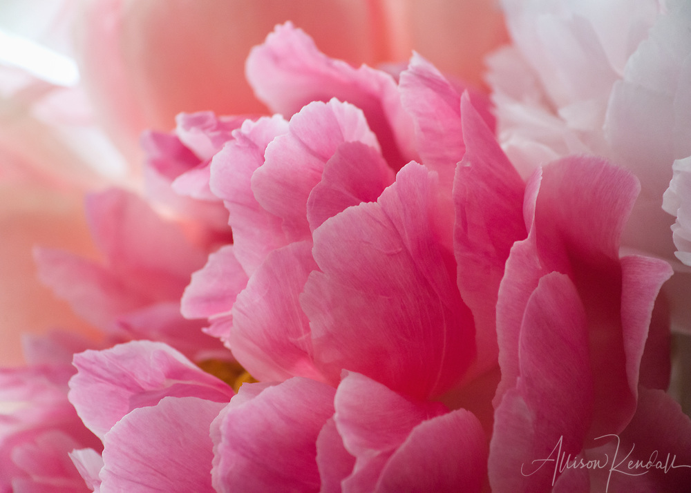 """Macro view of delicate pink peony flower petals 