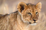 Ein kleiner Löwe (Panthera leo) im Schutzgebiet Tuli Block, Botswana<br /> <br /> A lion cub (Panthera leo) in the private game reserve Tuli Block, Botswana