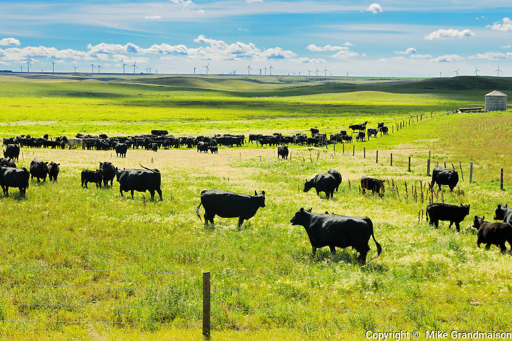 Cattle - black angus<br /> Rosenhof<br /> Saskatchewan<br /> Canada
