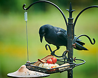 American Crow. Image taken with a NikonD850 camera and 200 mm f/2 VR lens