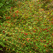 It is a deciduous shrub growing to 4-metre (13 ft) tall with bright green shoots with an angular cross-section. The flowers are small bell-shaped yellow-white to pinkish-white with pink. The fruit is an edible red to orange berry. It can produce prodigious quantities of fruit when it gets enough sun. It grows as an understory plant, thriving on decaying woody material in the soil. Often you'll see them growing out of the top of rotting stumps, feeding on the remnants of old timber. The bushes will tolerate rather deep shade, but under those conditions they tend to be somewhat spindly and don't produce much fruit. This was my favourite berry to make into a sauce to have with my multi-grain pancakes nearly every morning to fuel me up for a long hard day kayaking with the whales. It has a very distinctive tart taste that makes excellent jam and jelly. They weren't as widely available as blueberries so I always tried to remember where the best patches were located, and this was the best patch near one of my regular campsites at Point Hayes in Chatham Strait. Indigenous peoples of North America found the plant and its fruit very useful.The bright red, acidic berries were used extensively for food throughout the year. Fresh berries were eaten in large quantities, or used for fish bait because of the slight resemblance to salmon eggs. Berries were also dried for later use. Dried berries were stewed and made into sauces, or mixed with salmon roe and oil to eat at winter feasts.