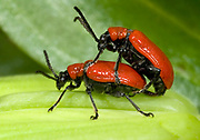 Close-up of a mating pair of lily beetles (Lilocerus lilii) on a lily leaf in a Norfolk garden in summer