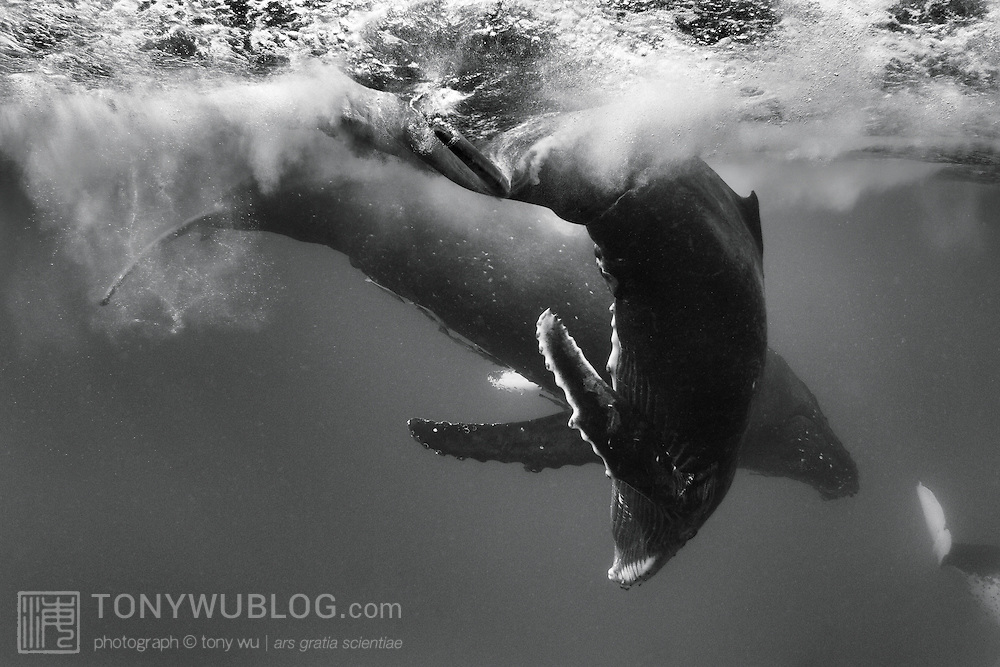 Female humpback whale calf (201405) playing in front of her mother, with fluke of an accompanying escort whale visible at the lower right. The adult female is also the mother of Tahafa, an injured male calf (201411) I documented during the 2011 calving season in Tonga.