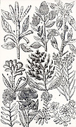 Doctrine of the Signatures, the theory of medicine that like cures like.  1,2,3,4,5: Various varieties of Amaranthus. 'Divers suppose the flowers of these plants doe helpe to stay the fluxe of blood in man or woman, because that other things are red or purple doe performe the same,'. 6-10 Everlasting flowers (Helichrysum and Gnaphalium which are dried for decoration, and put in drawers to discourage moth.   Woodcut from 'Paradisi in Sole Paradisus Terrestris' by John Parkinson  (London, 1629).