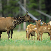 Elk cow nuzzles a calf in a meadow during early summer. Wyoming