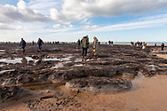 Tourists study the fallen trees and stumps of a prehistoric forest. Redcar beach, North Yorkshire, England. 2018.