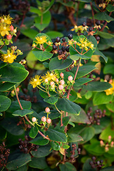 Hypericum inodorum Orange Gem syn. 'Magical Beauty' syn.  'Kolmbeau' - St. John's Wort - showing flowers, berries and seedheads
