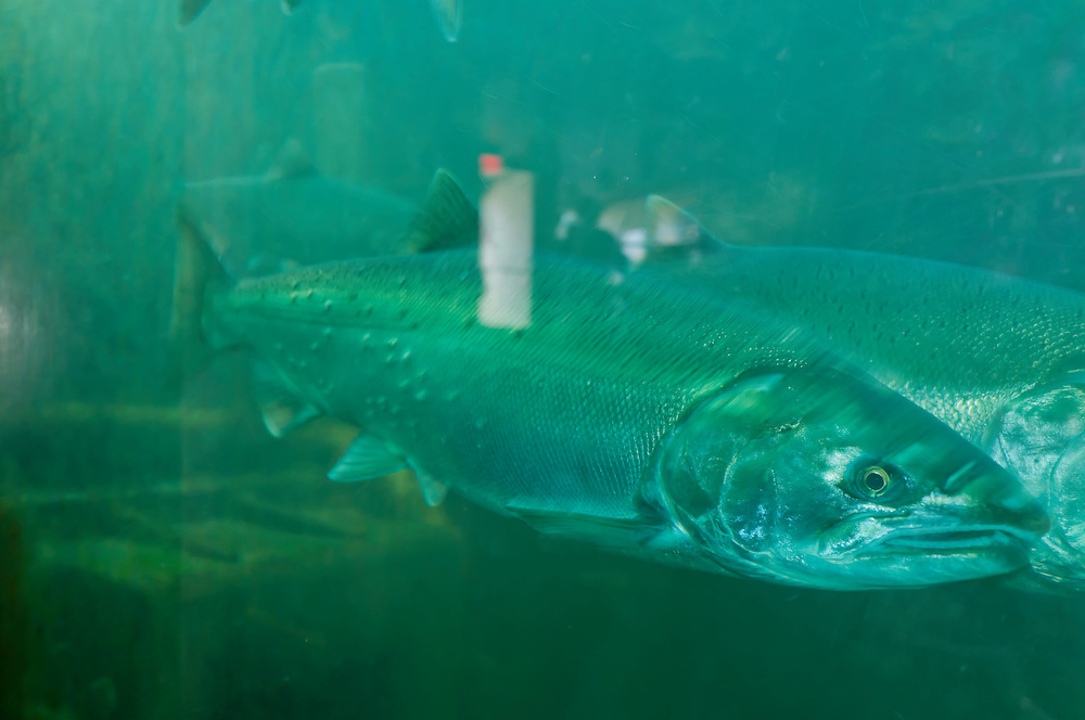 Salmon move through the fish ladder at Hiram M. Chittenden Locks in Ballard, Seattle, Washington.  Photo by William Byrne Drumm.